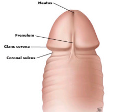 frenulo