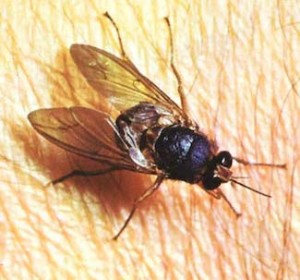 mosca malattia del sonno