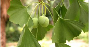 Ginkgo biloba a cosa serve?