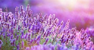 I fiori di lavanda e la loro proprietà